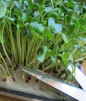 Как вырастить микрозелень