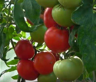 томат красный факел