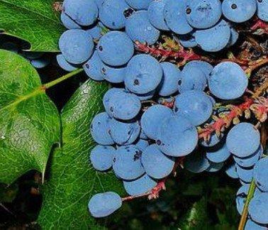 Орегонский виноград