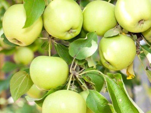 яблоки башкирский изумруд