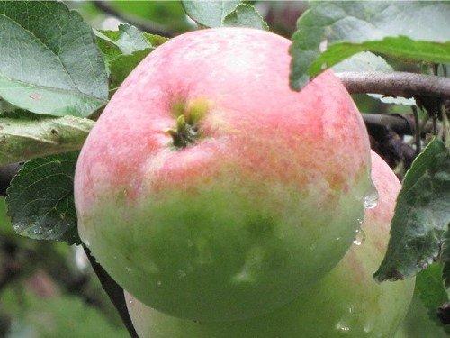 яблоко сорт московское зимнее