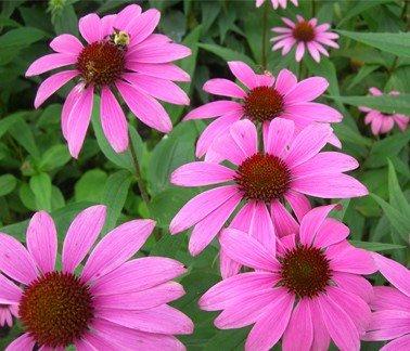 Эхинацея сорт Мангус с яркими цветами