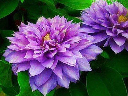 Вьющиеся растения для забора и сада