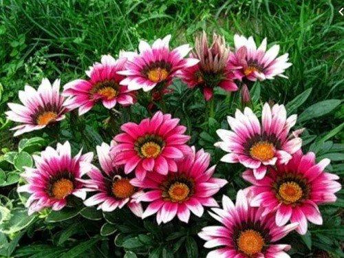 цветение газании