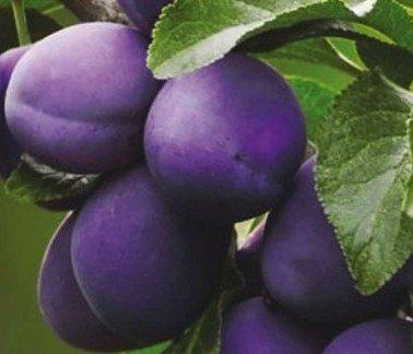 вишнеслива