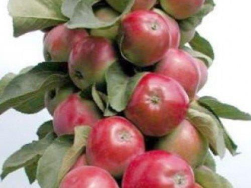 Колоновидные яблони Подмосковья