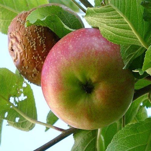 Болезни и насекомые яблони и груши