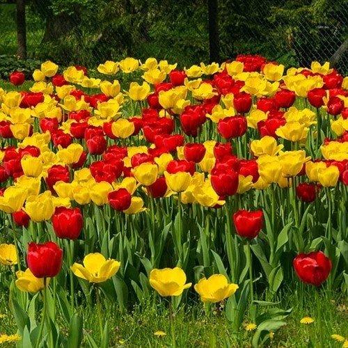 Тюльпаны цветут весной