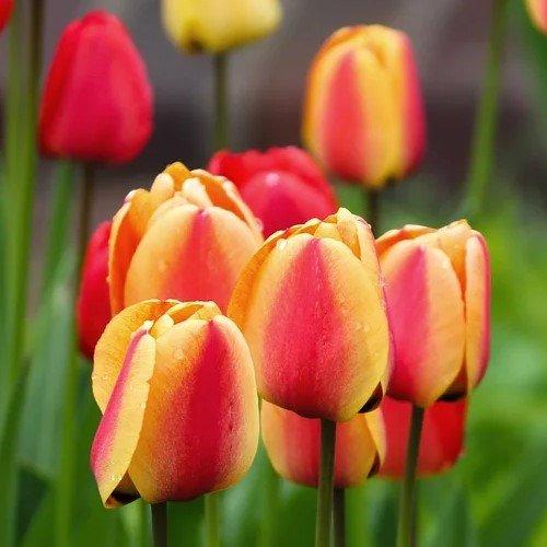 Тюльпаны, мои любимые цветы