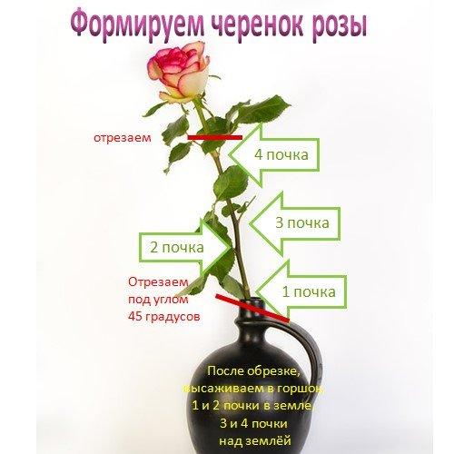 Черенок розы из вазы в сад