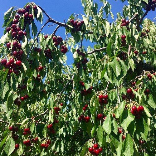 Урожай вишни будет
