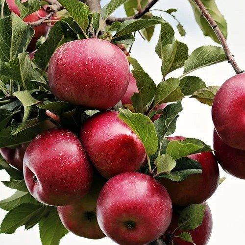 Яблони в сад