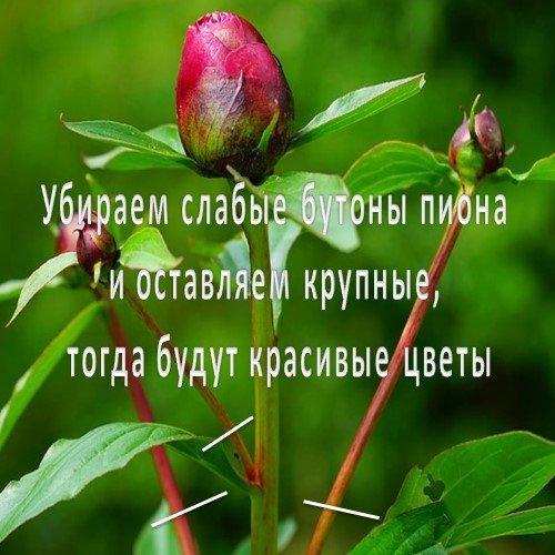 пион бутоны цветка