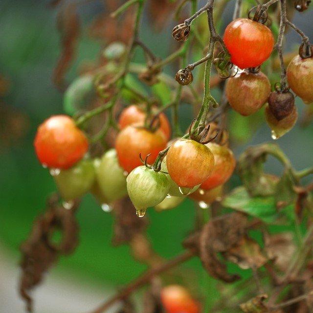 Фитофтора фитофтороз на томатах