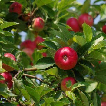 Яблоки для варенья и пирогов