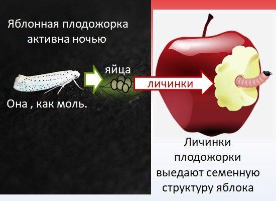 Борьба за урожай яблок