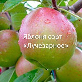 9 осенних сортов яблонь