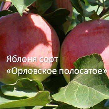Яблоня сорт «Орловское полосатое»