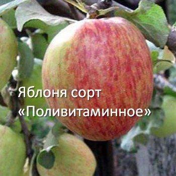 Яблоня сорт «Поливитаминное»
