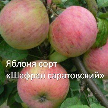 Яблоня сорт «Шафран саратовский»