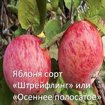 Яблоня сорт «Штрейфлинг», «Штрифель» или «Осеннее полосатое»