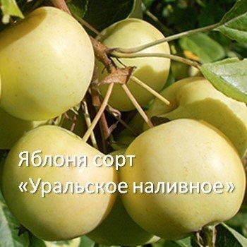 Яблоня сорт «Уральское наливное»