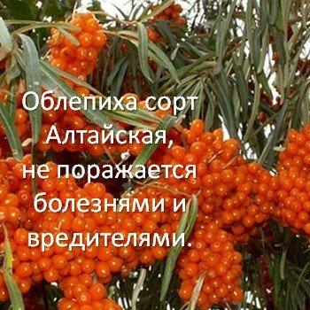 Облепиха сорт Алтайская