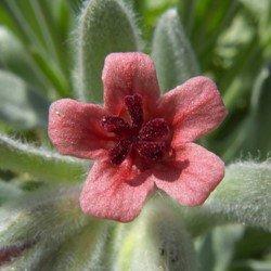 Чернокорень цветок от мышей