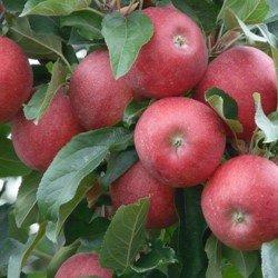 для яблони