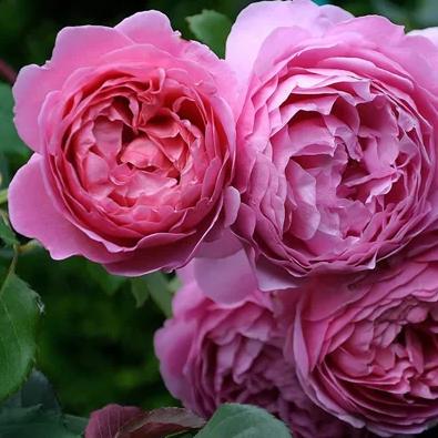Роза Александра Кент