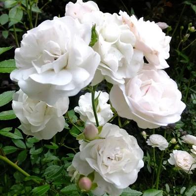 Sea Foam почвопокровные розы