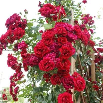 Розы для Подмосковья