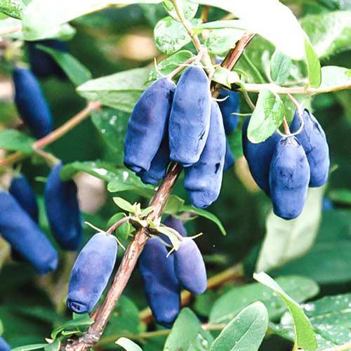 Особенности выращивания жимолости