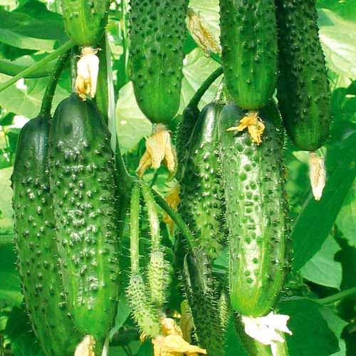 Огурцы второго урожая