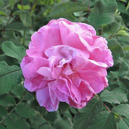 Роза канадская Свит Аделин