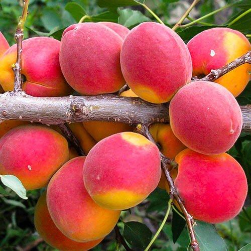 Варенья джемы из абрикосов