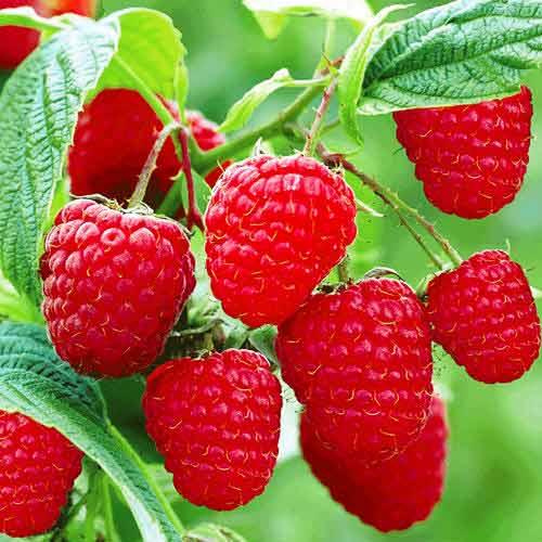 Удобрение ягодников