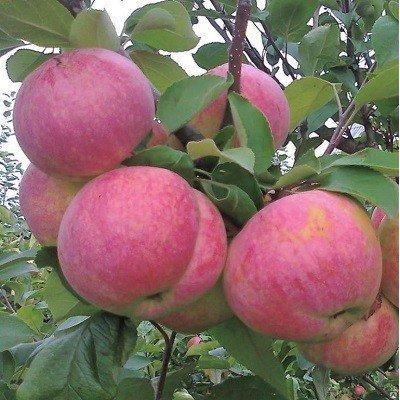 Яблоня сорт Желанное
