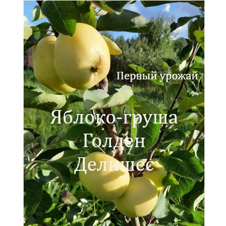 Голден Делишес яблоко-груша